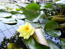 lilly ύδωρ στοκ φωτογραφίες με δικαίωμα ελεύθερης χρήσης