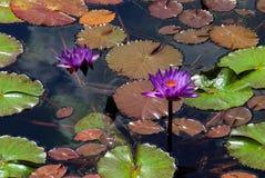 lilly ύδωρ Στοκ Φωτογραφία