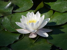 lilly белизна воды Стоковое Фото