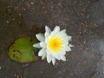 lilly вода Стоковое Фото
