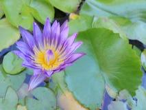 lilly вода Стоковая Фотография