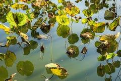 lilly вода заплаты лотоса Стоковые Фотографии RF