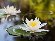 lilly вода Стоковые Фотографии RF