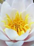 lilly вода Стоковое Изображение RF
