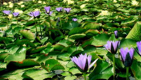 lilly вода Стоковые Фото