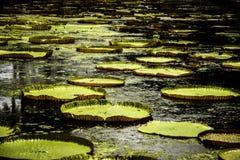 lilly вода стоковое фото rf