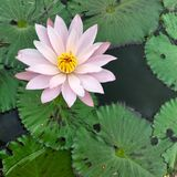 lilly вода Стоковые Изображения RF