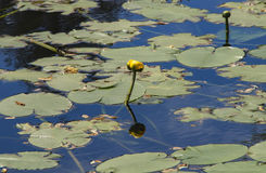 lilly вода Стоковая Фотография RF