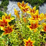 lilly желтый цвет Стоковое Фото