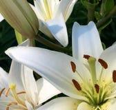 Lilly закрывает вверх белых лилий очень детальных Стоковое Изображение