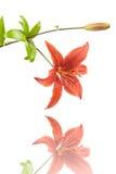 lilly красный цвет Стоковое фото RF