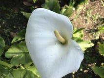 lilly мир Стоковая Фотография