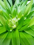 Lilly, пре-цветене Стоковые Изображения RF