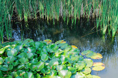 lilly пруд Стоковое Фото