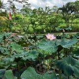 lilly пруд Стоковые Изображения RF