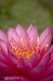 lilly пурпуровая вода Стоковое Изображение