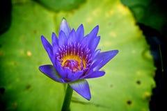 lilly пурпуровая вода Стоковые Фотографии RF