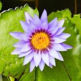 lilly пурпуровая вода Стоковая Фотография RF