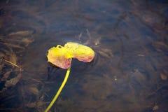 lilly пусковая площадка Стоковые Фотографии RF