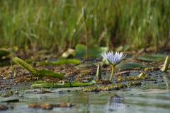 lilly пусковая площадка Стоковое Фото