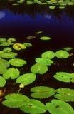 lilly пусковые площадки Стоковая Фотография