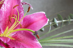 lilly тигр Стоковые Изображения