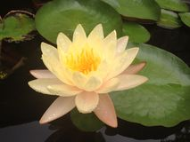 lilly цветок воды, лотос Стоковое Фото