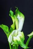 lilly绿色戈尔代水芋属在黑背景 免版税库存照片