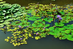 lilly紫色水在水池 免版税库存照片