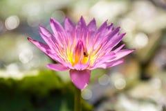 lilly紫色水 免版税图库摄影