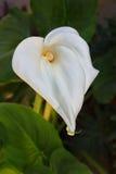 lilly水芋属花在庭院里 库存照片