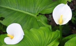 lilly水芋属 免版税库存图片