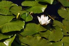 lilly水 库存照片