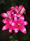 lilly fotos de archivo