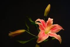 lilly Стоковые Изображения RF