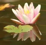 水lilly 2 免版税库存图片