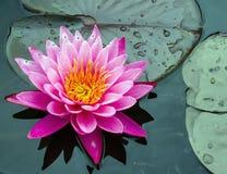 美丽的莲花Lilly花在庭院里 免版税库存图片