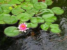 lilly水 免版税库存图片