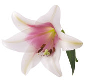 Lilly Stock Photography