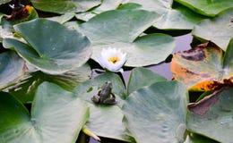 lilly水 免版税库存照片