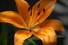 lilly Imagem de Stock Royalty Free