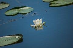lilly水 图库摄影