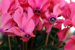 lilly Fotografia de Stock Royalty Free