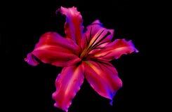 lilly Fotografia Stock Libera da Diritti