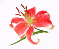 Lilly. Pink lily on white background closeup Stock Photos