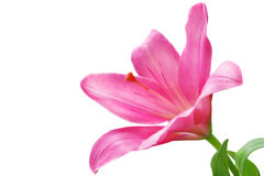 Lilly Royalty Free Stock Photos