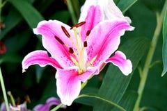 lilly Стоковая Фотография