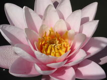 Lilly. Close-up of a pink water lilly Stock Photos
