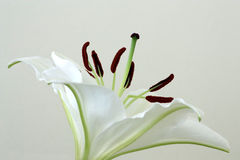A lilly against white Stock Image