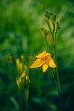 Lilly amarillo Foto de archivo libre de regalías
